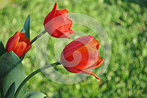 3 Red Tulips Royalty Free Stock Images - Image: 25872669