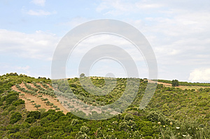 Olive Sunny Orchard Stock Images - Image: 25883964