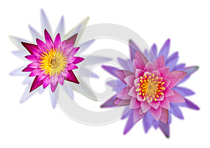 Isolates Of Two Overlapping Lotus Flower. Royalty Free Stock Photos - Image: 25889808