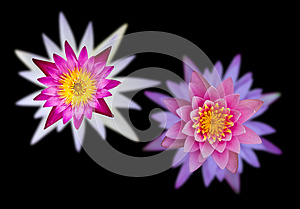 Lotus Flowers On Two Overlapping Black Background. Stock Image - Image: 25889831