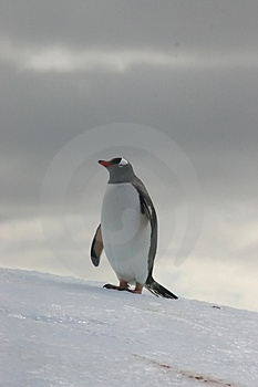 PAPUA PENGUIN Stock Photography - Image: 2593682