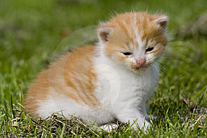 Kitten Royalty Free Stock Image - Image: 2593826