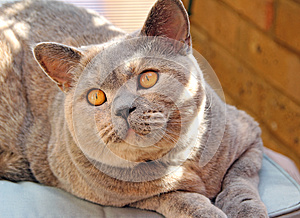 Look Of Love Pedigree Cat Royalty Free Stock Photography - Image: 25906907