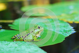 Frog Sits On A Green Leaf Stock Photo - Image: 25920000