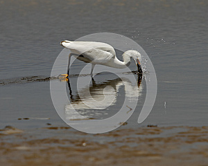 Snowy Egret Stock Photography - Image: 25920742