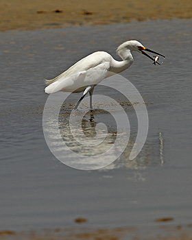 Snowy Egret Having Lunch Royalty Free Stock Photography - Image: 25920747