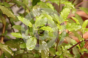 Holy Basil Leaves Royalty Free Stock Images - Image: 25923769