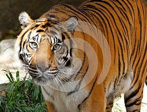 Sumatran Tiger Royalty Free Stock Photo - Image: 25933975