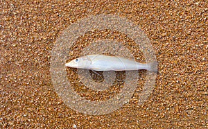 Dead Fish Royalty Free Stock Image - Image: 25939446