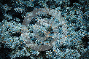 Prickly Branches Of Blue Spruce Royalty Free Stock Images - Image: 25947819