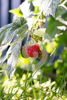 Raspberries Royalty Free Stock Images - Image: 25948939