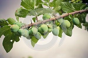 Plum Tree Stock Image - Image: 25948981