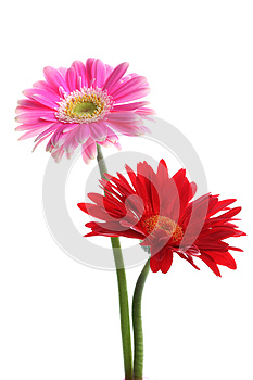 Fresh Pink And Red Gerbera Royalty Free Stock Images - Image: 25950509