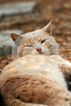 Red Lazy Cat Looking Royalty Free Stock Photo - Image: 25961455