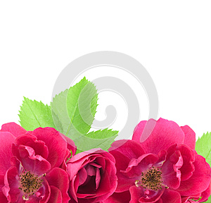 Beautiful Rose Flowers Background With Copy Space Stock Image - Image: 25973321