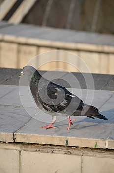 Pigeon Stock Photography - Image: 25985032