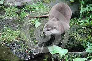 Otter On The Rocky Bank. Royalty Free Stock Image - Image: 25990996