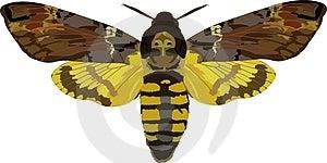 Acherontia Atropos Stock Image