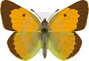 Colias Crocea Stock Photos