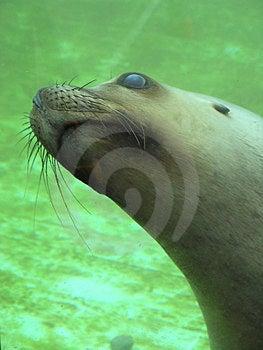 Seal Free Stock Image
