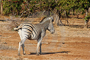 Zebra Free Stock Photo