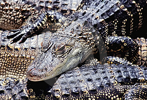 American Alligators Stock Images