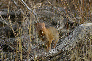Mongoose Free Stock Images