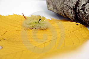 Furry Caterpillar Stock Photography
