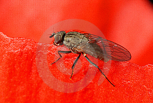 Fly In Poppy Flower Free Stock Images