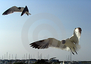 Seagulls Following Boat Stock Image