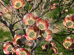 Red Dogwood Stock Photos