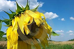 The Sunflower Stock Photo