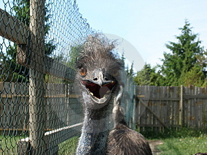 Emu Staring Stock Photos