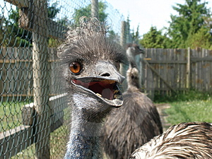 Emu At Close Stock Images