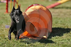 Belgian Shepherd Out Of Tunnel Stock Photo