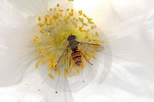 hoverfly ID: 266041 © Stevenq77 | Dreamstime Stock Photos