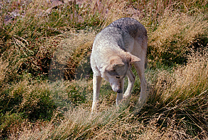 Wolf Looking Into Grass Free Stock Images