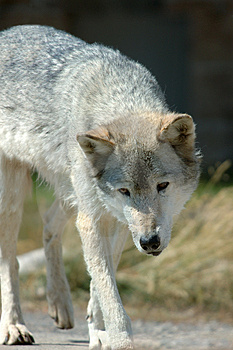 Wolf Stalk Stock Photo