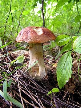 White Mushroom. Stock Image