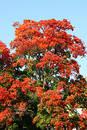 Autumn blushing trees Free Stock Images