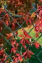 Ivy ldecoration 2 Free Stock Image