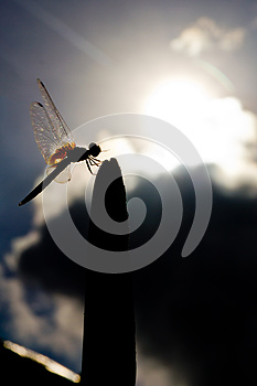 Dragonfly Stock Photography - Image: 26003342