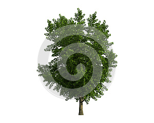 Tree Isolated On A White Background Stock Images - Image: 26003794