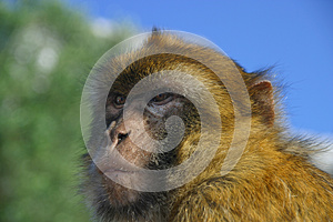 Monkey Looking For Food Stock Images - Image: 26037434