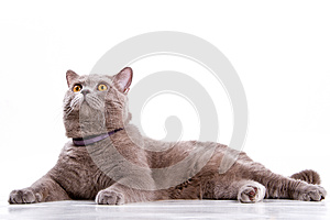 British Cat Royalty Free Stock Images - Image: 26040089