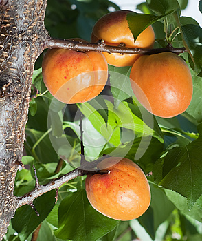 Apricots Royalty Free Stock Images - Image: 26053719
