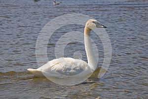 Trumpeter Swan Stock Photo - Image: 26075990