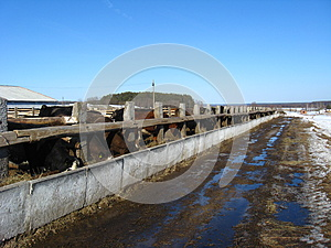 Cattle-breeding Farm In The Spring Royalty Free Stock Image - Image: 26080166