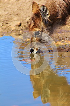 Purity And Peace - Waterbuck Calf Stock Photography - Image: 26081802
