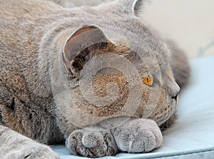 Wistful Pedigree Cat Pose Stock Images - Image: 26095234